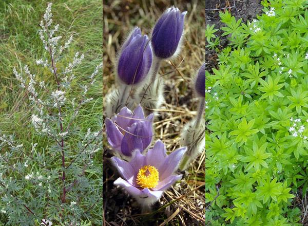 Растения, полезные при остеопорозе в качестве отваров