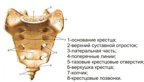 Анатомия крестца позвоночника