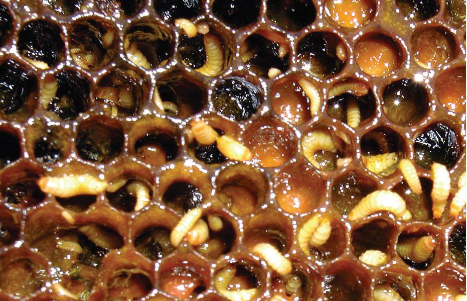 Личинки восковой моли на пчелиных ульях