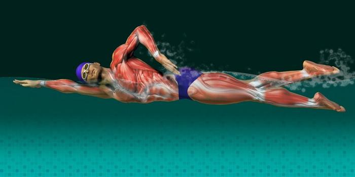 Визуализация задействованных мышц при плавании