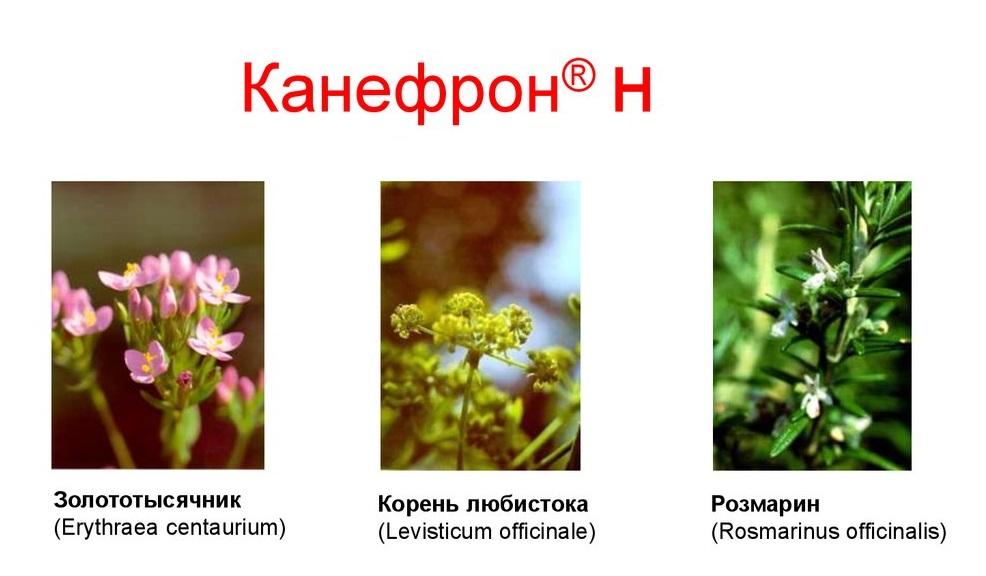 Активные вещества канефрона