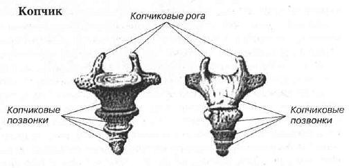 Строение копчиковой кости