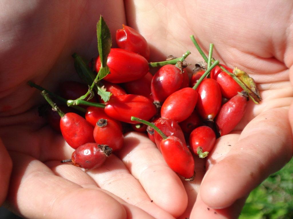 Свежие ягоды шиповника в ладонях