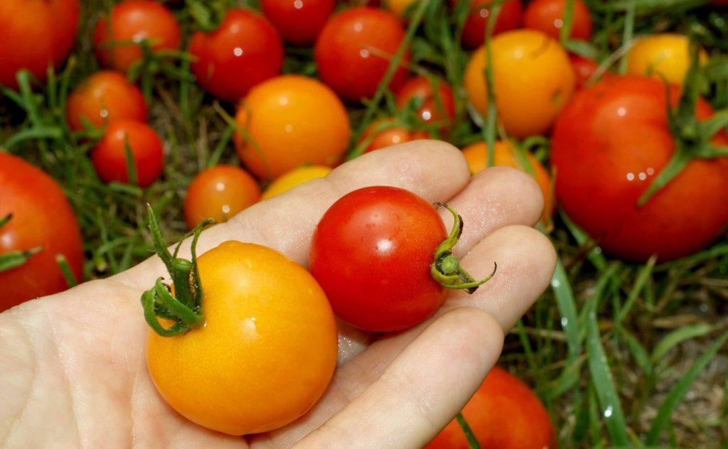 Красный и желтый помидор на ладони